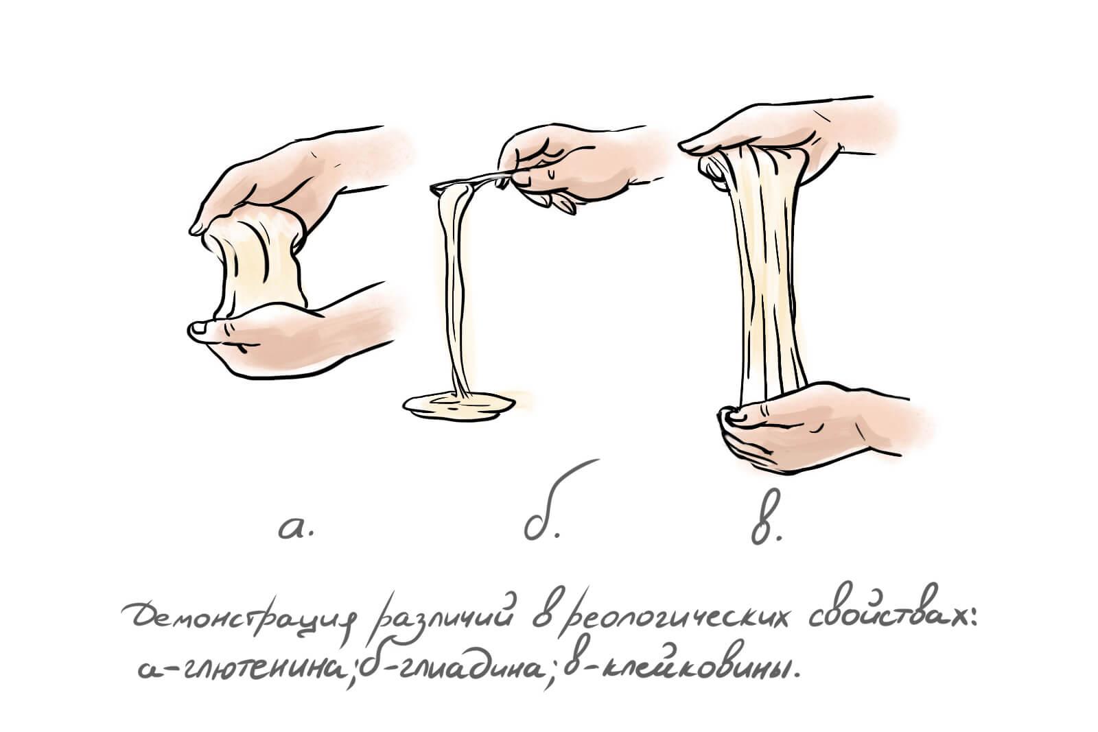 На рисунке а изображён гидратированный глютенин - это резинообразная масса, которая слегка тянется, но относительно жёсткая и упругая. На рисунке б гидратированный глиадин - жидкая, сиропообразная масса. Вязкотекучая, липкая, растяжимая и неупругая. На рисунке в вы уже видите клейковину, которая представляет собой сочетание гидратированного глютенина и глиадина и их свойств.